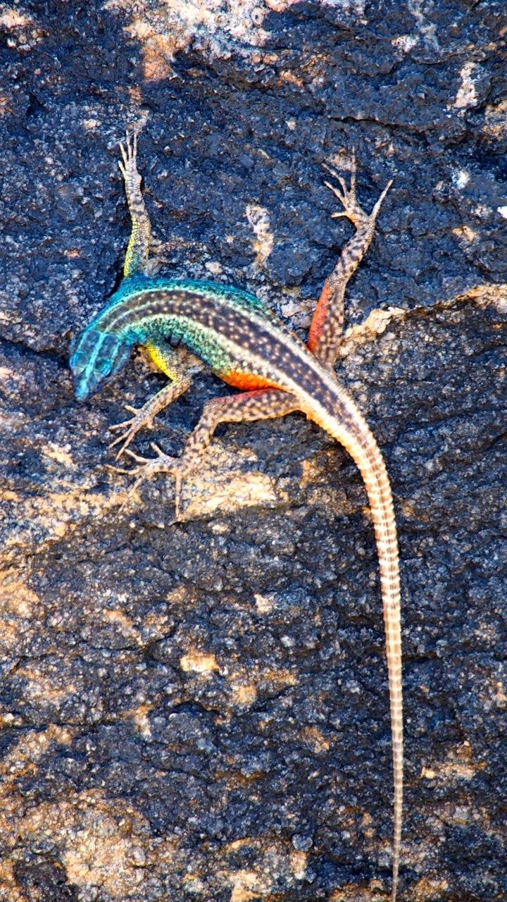 Bunte Geckos
