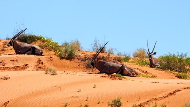 Oryx-Antilopen, Kalahari Südafrika, Fotografie Sabine Lueder