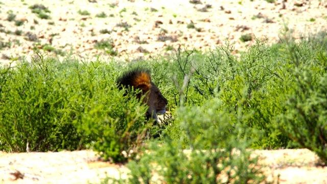 Kalahari Löwe, Fotografie Sabine Lueder