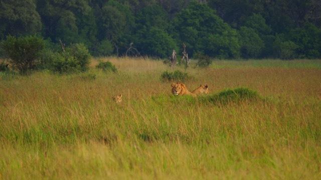 Löwen am Khwai River/Botswana, Foto Sabine Lueder