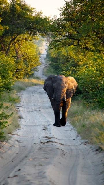 Elefant in der Savuti / Botswana, Foto Sabine Lueder