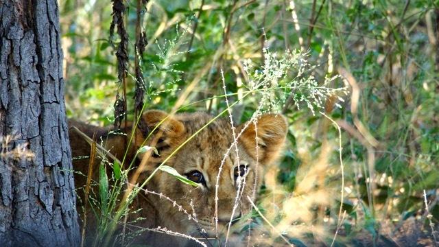 Löwenbaby im Hwenge Nationalpark, Foto Sabine Lueder