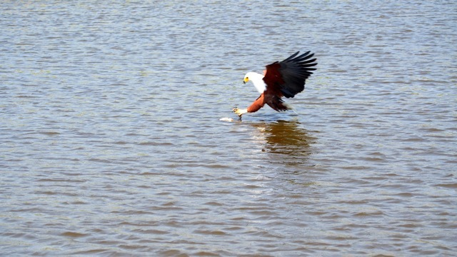 Seeadler auf Beutefang Lake Kariba, Foto Sabine Lueder