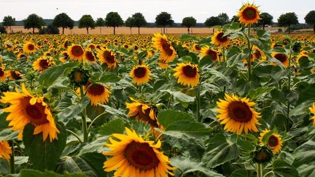 Blühende Sonnenblumenfelder soweit das Auge reicht, Fotografie Sabine Lueder